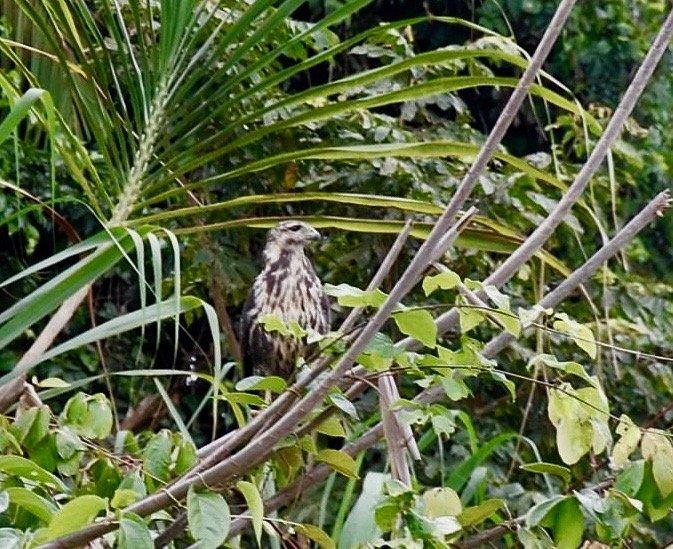 Birds of Belize, Monkey River