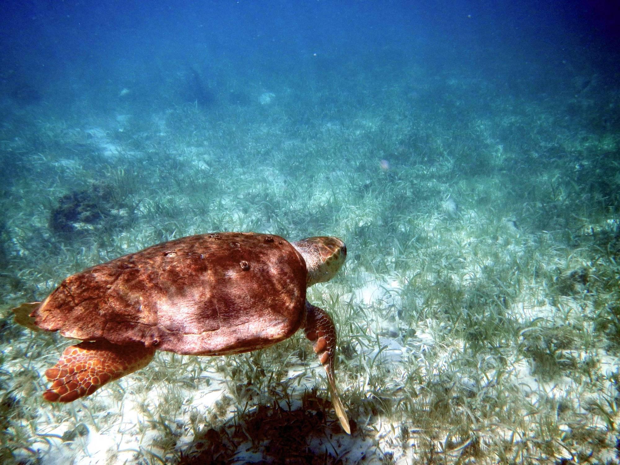 Belize Loggerhead Turtles